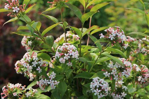 Koreanische Abelie - Abelia mosanensis