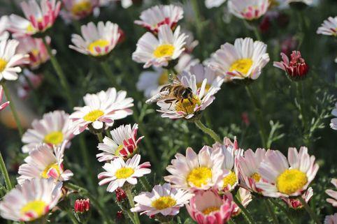 Kreisblume 'Silberkissen' - Anacyclus pyrethrum var. depressus 'Silberkissen'