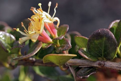 Kriechende Heckenkirsche 'Little Honey' - Lonicera crassifolia 'Little Honey'