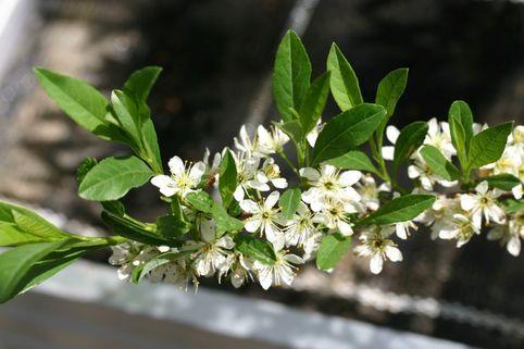 Kriechende Sandkirsche - Prunus pumila depressa