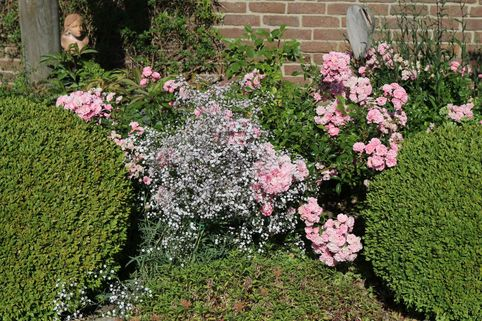 Kriechendes Garten Schleierkraut 'Compacta Plena' - Gypsophila repens 'Compacta Plena'