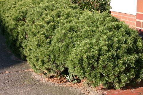 Kriechkiefer / Zwerglatsche / Zwergkiefer / Kniekiefer - Pinus mugo pumilio
