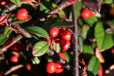 Kriechmispel 'Parkteppich' - Cotoneaster salicifolius 'Parkteppich'