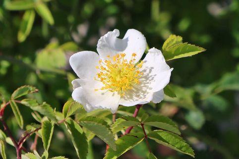 Kriechrose / Feldrose - Rosa arvensis