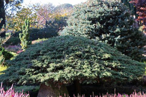 Kriechwacholder 'Green Carpet' - Juniperus communis 'Green Carpet'