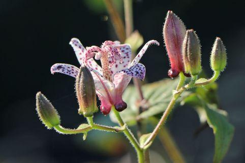 Krötenlilie - Tricyrtis formosana