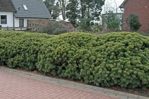 Krummholz-Kiefer / Bergkiefer - Pinus mugo mughus