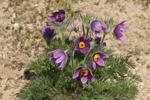 Küchenschelle - Pulsatilla vulgaris subsp. vulgaris
