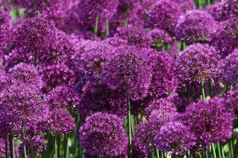 Kugel-Lauch 'Purple Sensation' - Allium aflatunense 'Purple Sensation'