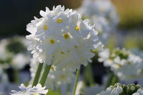 Kugel-Primel 'Alba' - Primula denticulata 'Alba'
