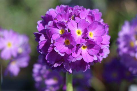 Kugel-Primel, blauviolett - Primula denticulata, blauviolett