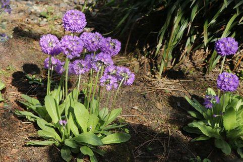 Kugel-Primel 'Grandiflora' - Primula denticulata 'Grandiflora'