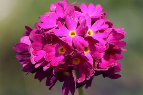 Kugel-Primel 'Rubin' - Primula denticulata 'Rubin'