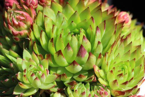 Kugelige Wirbel-Steinwurz - Jovibarba globifera subsp. globifera