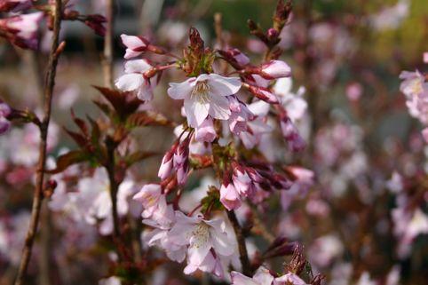 Kurilenkirsche 'Ruby' - Prunus kurilensis 'Ruby'