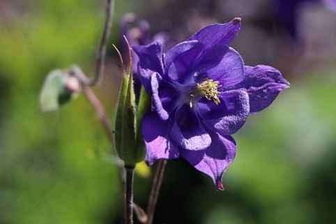 Kurzspornige Akelei - Aquilegia vulgaris