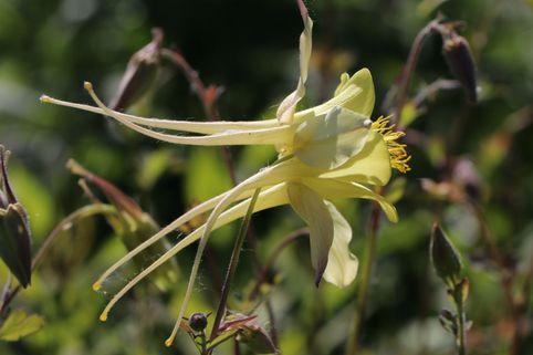 Langspornige Akelei - Aquilegia chrysantha
