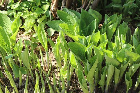 Lanzen-Funkie - Hosta lancifolia