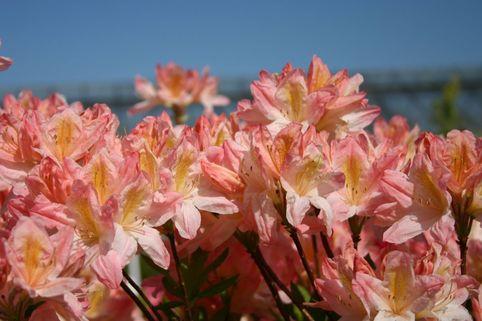 Laubabwerfende Azalee 'Apple Blossom' - Rhododendron mollis 'Apple Blossom'