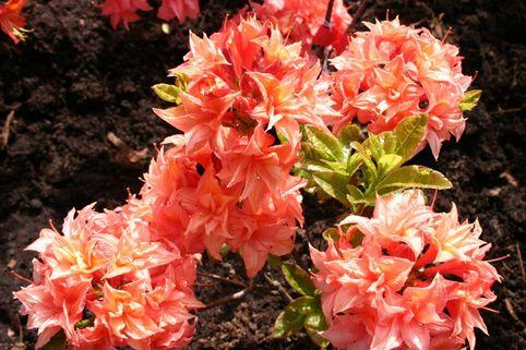 Laubabwerfende Azalee 'Arista' - Rhododendron luteum 'Arista'