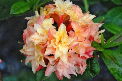 Laubabwerfende Azalee 'Cannon's Double' - Rhododendron luteum 'Cannon's Double'