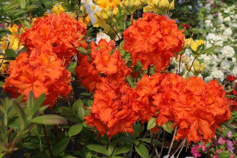 Laubabwerfende Azalee 'Fireball' - Rhododendron luteum 'Fireball'