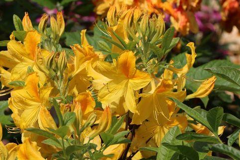 Laubabwerfende Azalee 'Goldtopas' - Rhododendron luteum 'Goldtopas'