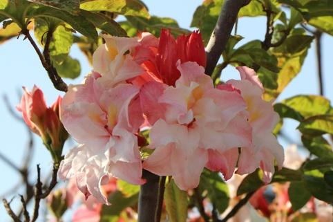 Laubabwerfende Azalee 'Jack A. Sand' - Rhododendron luteum 'Jack A. Sand'
