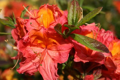 Laubabwerfende Azalee 'Juanita' - Rhododendron luteum 'Juanita'