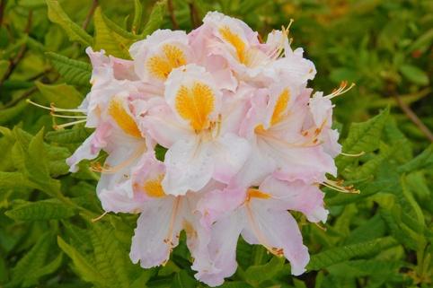 Laubabwerfende Azalee 'Möwe' - Rhododendron luteum 'Möwe'