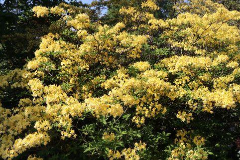 Laubabwerfende Azalee 'Narcissiflora' - Rhododendron luteum 'Narcissiflora'