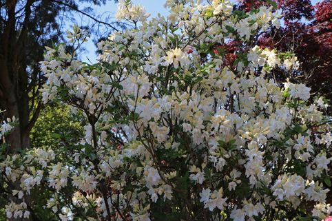 Laubabwerfende Azalee 'Oxydol' - Rhododendron luteum 'Oxydol'