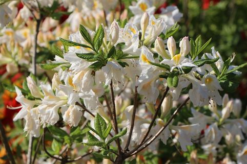 Laubabwerfende Azalee 'Persil' - Rhododendron luteum 'Persil'