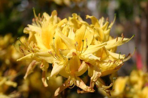 Laubabwerfende Azalee / Gelbe Azalee / Pontische Azalee - Rhododendron luteum / flavum / Azalea pontica
