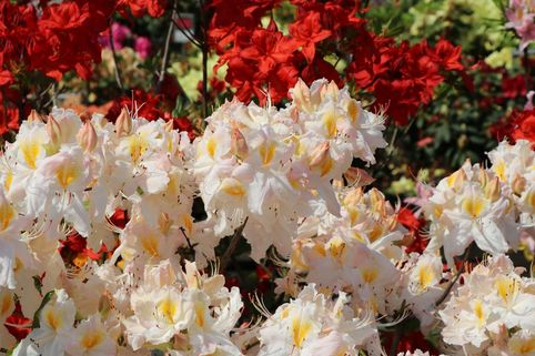Laubabwerfende Azalee 'Schneegold' - Rhododendron luteum 'Schneegold'