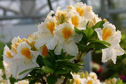 Laubabwerfende Azalee 'Sonia' - Rhododendron luteum 'Sonia'
