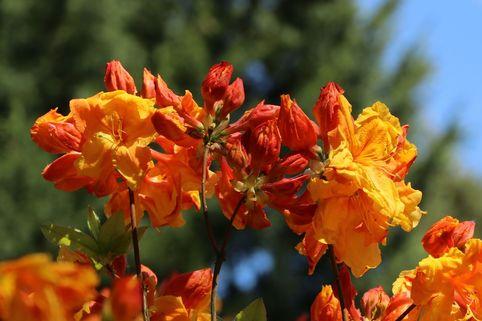 Laubabwerfende Azalee 'Sunte Nectarine' - Rhododendron luteum 'Sunte Nectarine'