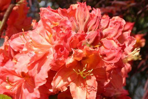 Laubabwerfende Azalee 'Wilhelm Röntgen' - Rhododendron luteum 'Wilhelm Röntgen'