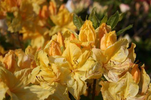 Laubabwerfende Azalee 'Windsor Sunbeam' - Rhododendron luteum 'Windsor Sunbeam'