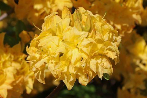 Laubabwerfende Azalee / Gelbe Azalee 'Yellow Pom Pom' - Rhododendron luteum 'Yellow Pom Pom'