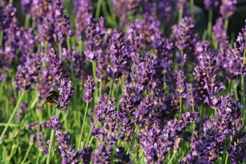 Lavendel 'Blue River' ® - Lavandula angustifolia 'Blue River' ®