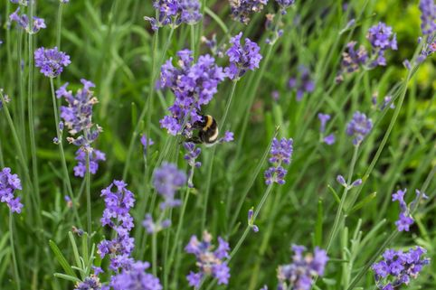 Lavendel 'Blue Scent Early' - Lavandula angustifolia 'Blue Scent Early'