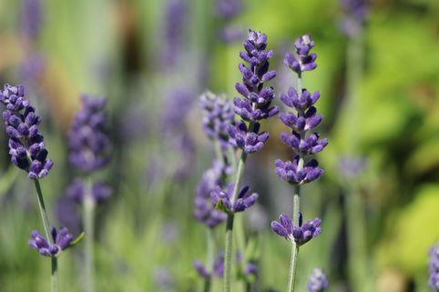 Lavendel 'Blue Scent' - Lavandula angustifolia 'Blue Scent'