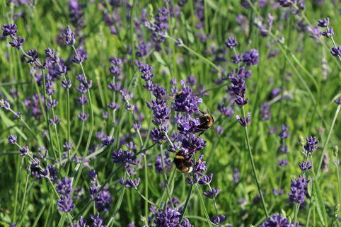 Lavendel 'Bowles Variety' - Lavandula x intermedia 'Bowles Variety'