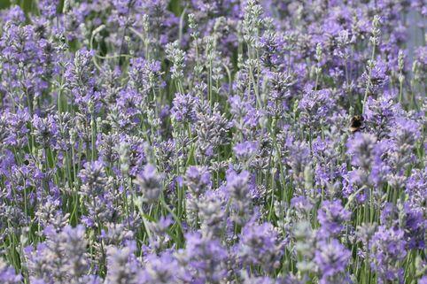 Lavendel 'Cedar Blue' - Lavandula angustifolia 'Cedar Blue'