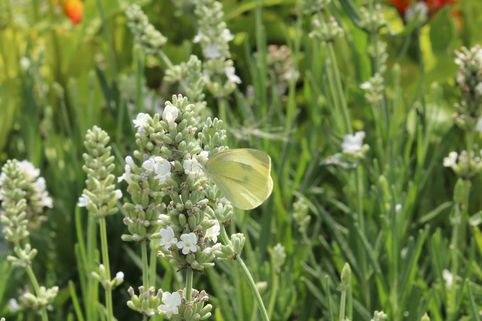 Lavendel 'Ellagance Ice' - Lavandula angustifolia 'Ellagance Ice'