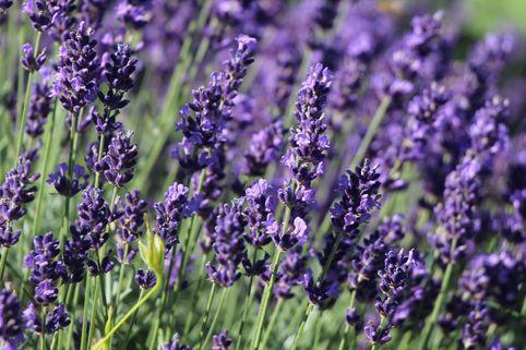Lavendel 'Hidcote Blue' / 'Strain' - Lavandula angustifolia 'Hidcote Blue' / 'Strain'