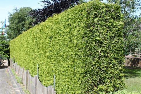 Lebensbaum 'Brabant' - Thuja occidentalis 'Brabant'