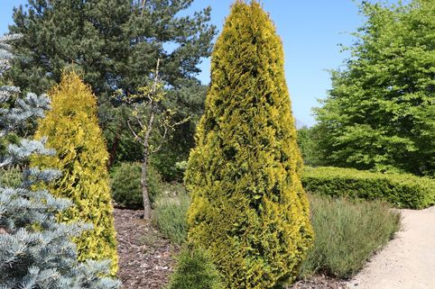 Lebensbaum 'Golden Smaragd' ® - Thuja occidentalis 'Golden Smaragd' ®
