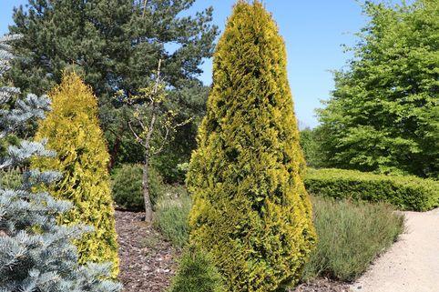 Lebensbaum Golden Smaragd ®